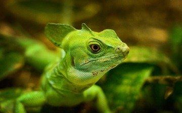 макро, ящерица, зеленая