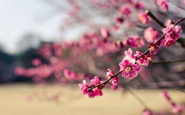 цветы, дерево, макро, парк, ветки, лепестки, япония, размытость, розовые, слива