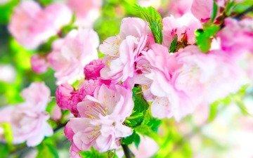 цветы, листья, макро, цветок, шиповник, розовый, размытие
