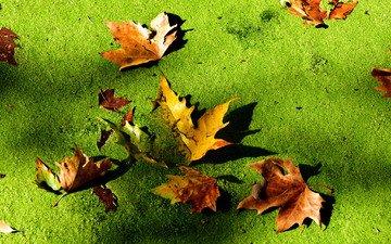 болото, листья, макро, осень, тина