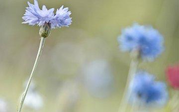 фокус камеры, макро, размытость, васильки, светло-голубые