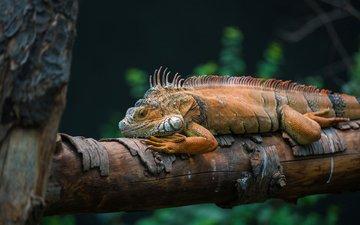 природа, дерево, ящерица, игуана, пресмыкающееся