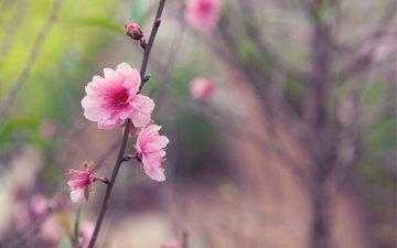 дерево, бутоны, фокус камеры, макро, цветок, япония, размытость, весна, веточка, розовый, сакура, нежность