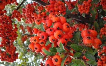 ветки, красные, ягоды, плоды, рябина