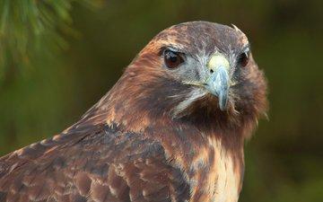 взгляд, хищник, птица, ястреб, хоук, птаха