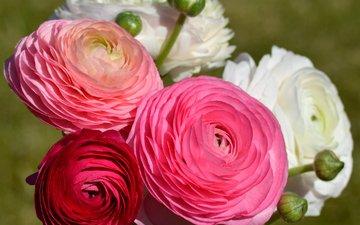 цветы, цветение, цветы, лютик