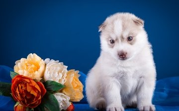 цветы, щенок, хаски