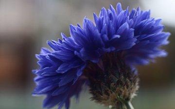 фокус камеры, макро, синий, цветок, василек