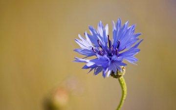 macro, blue, flower, cornflower, field