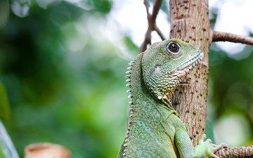 дерево, взгляд, ящерица, профиль, зеленая, игуана