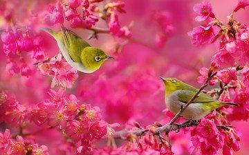 цветы, дерево, цветение, ветки, пара, малиновые, птички, японская белоглазка