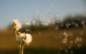 поле, семена, растение, пух, былинки, life is a breath, oсот