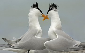 крылья, птицы, клюв, перья, крачки