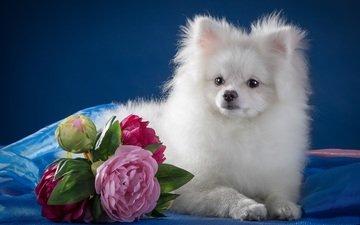 белый, щенок, пионы, шпиц