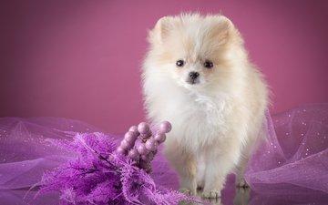 white, puppy, veil, decor, spitz