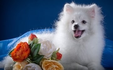 flowers, white, language, cute, spitz