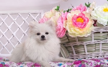 цветы, белый, корзина, шпиц