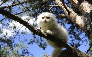 дерево, кошка, белая, на дереве, скоттиш-фолд, шотландская вислоухая кошка