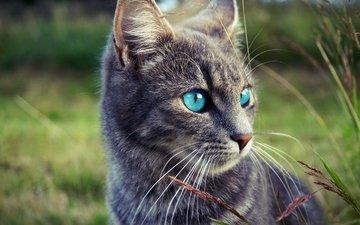 глаза, морда, трава, природа, кот, кошка, взгляд, серый