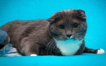 кот, кошка, серый, голубой фон, шотландский вислоухий