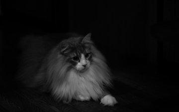 кот, шерсть, кошка, взгляд, чёрно-белое, пушистый