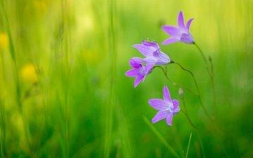 цветы, макро, насекомое, колокольчики, кузнечик, боке