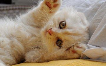 мордочка, кошка, взгляд, лапки, скоттиш-фолд, шотландская вислоухая кошка