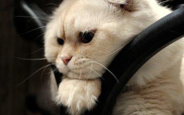мордочка, взгляд, скоттиш-фолд, шотландская вислоухая кошка