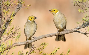 ветка, птицы, австралия, lichenostomus penicillatus, медоносовые