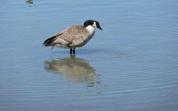 вода, птица, канада, гусь, птаха, canada goose