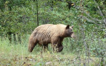 канада, альберта, гризли, провинция альберта, grizzly bear, waterton national park, медведь., уотертон, национальный парк уотертон