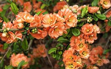цветение, бутоны, ветки, весна, сакура, spring, blossom, sakura, flowering trees