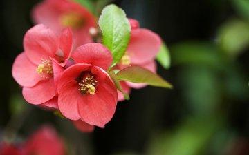 цветение, макро, сакура, blossom, sakura, flowering trees
