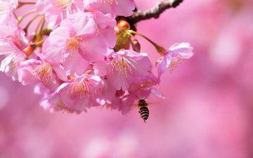 цветение, макро, весна, сакура, пчела, blossom, весенние, flowering trees