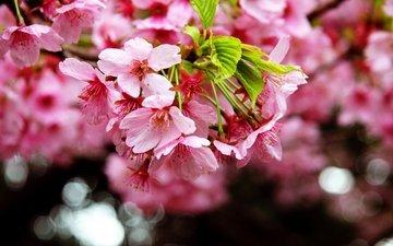 цветение, макро, весна, сакура, spring, blossom, sakura, flowering trees