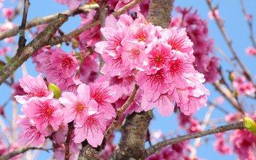 цветение, макро, ветки, весна, сакура, spring, blossom, sakura, flowering trees