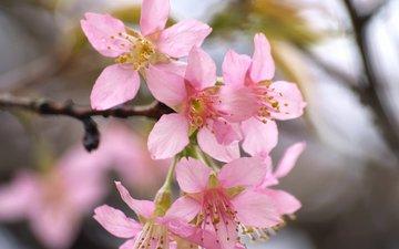 цветение, весна, сакура, spring, blossom, flowering trees