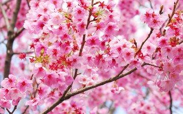 цветение, ветки, весна, сакура, blossom, весенние, flowering trees