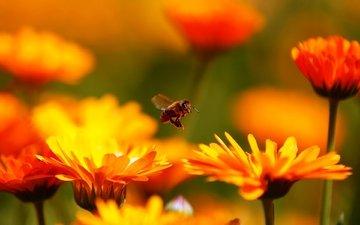 цветы, макро, насекомое, пчела, красивые