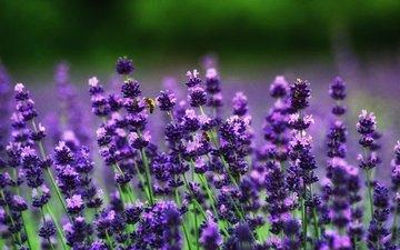 цветы, поле, лаванда, пчелы