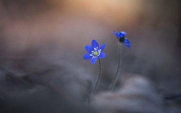 цветы, природа, фон, лепестки, размытость, печёночница