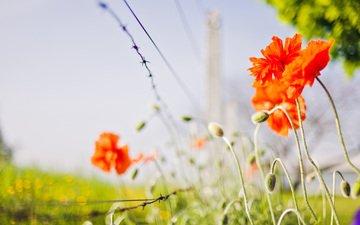 цветы, природа, маки