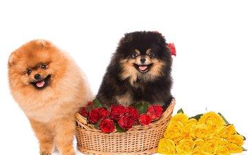 цветы, розы, взгляд, пушистые, корзина, песики, шпиц