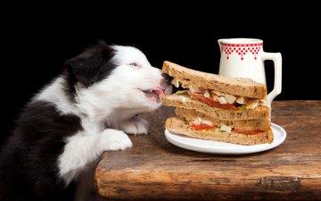 еда, собака, бутерброд, песики, бордер-колли