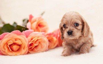 цветы, розы, собака, щенок, щенка, детские, цветы, спаниель, роз, cобака