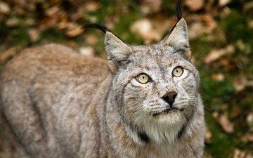 рысь, кошка, взгляд, башка, рыси, fur gray