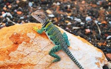 камни, ящерица, геккон