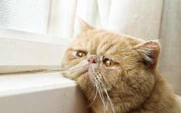 кот, окно, ожидание, рыжий кот, экзот, экзотическая короткошёрстная кошка