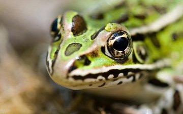 frog, head, reptile