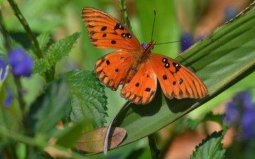 макро, фон, .., ., бабочка...